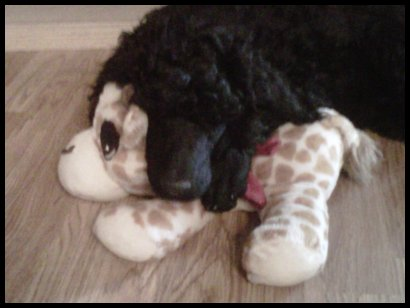 black poodle pup sleeping with head on toy